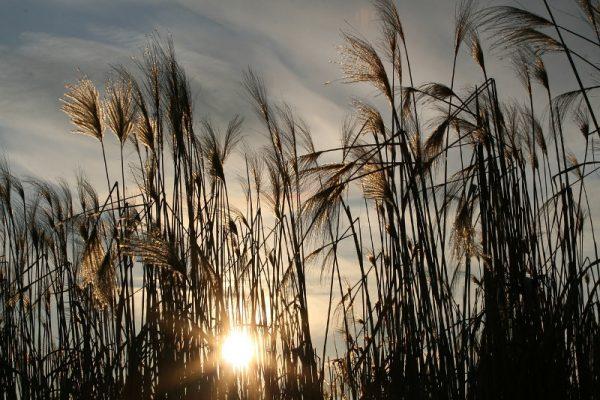 Sonne hinter Schilf, Morgenhimmel
