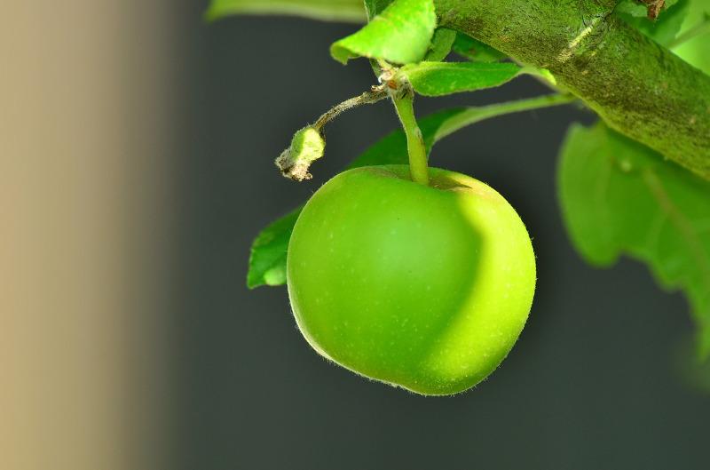 Ein saftiger grüner Apfel an einem Baum